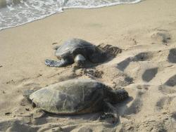 There are always plenty of turtles resting on beach. One time I counted 14!